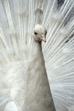 close up of white peafowl photo