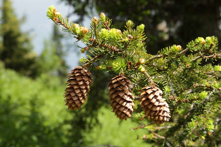pinecone: three pinecones hanging from the branches Stock Photo