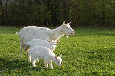 goat horns: a goat and two kids on pasture