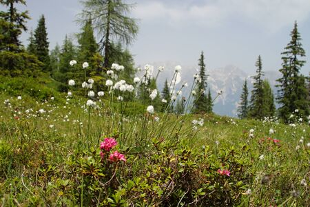 Flower on meadow at high mountains Alp Austria Europe photo