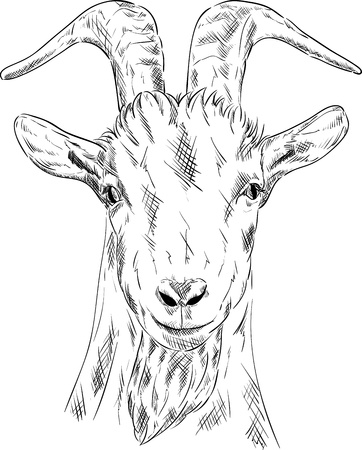 portrait goat isolated om bacground Vector