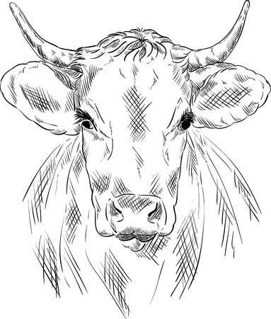 cow head:  cow portrait isolated on background Illustration