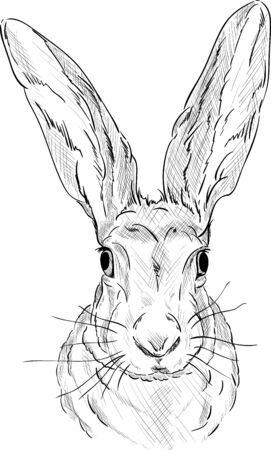 hare:  Portrait of a  hare - isolated on background
