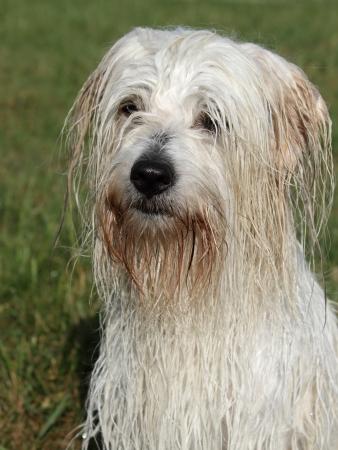 uncommon: Wet uncommon breed of dog Coton de Tulear