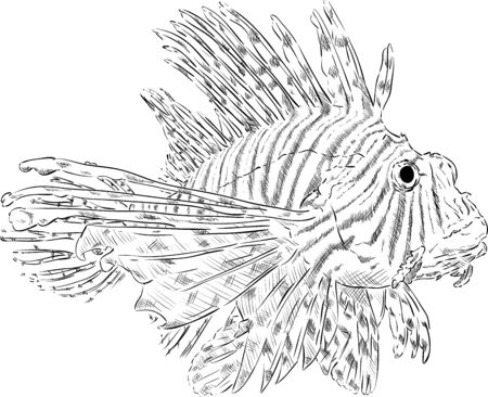 pterois volitans: vector - Pterois volitans , isolated on background