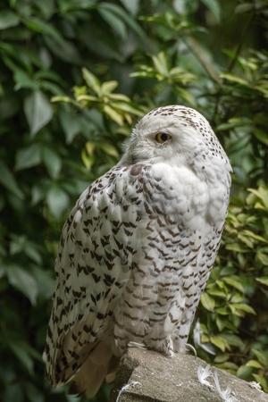 portrait  White snow owl siting on stone - open eyes photo