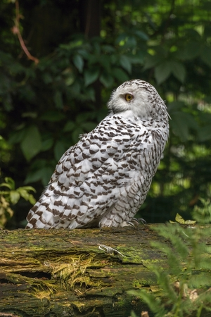 siting: portrait  White snow owl siting on tree - open eyes