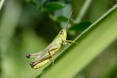 Green grasshopper sitting on agrass -  closeup