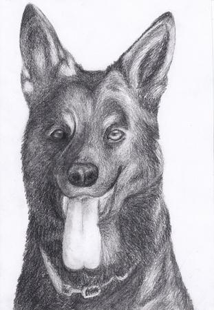 pedigreed: dog portrait German Shepherd hand draw pencil Stock Photo