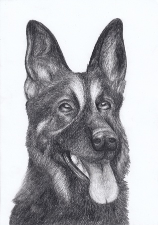 pencil drawing: dog portrait German Shepherd hand draw pencil Stock Photo