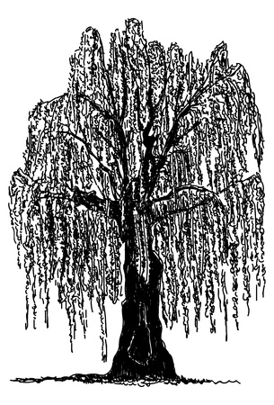 Wektor - płaczący wierzby drzewo samodzielnie na tle Ilustracje wektorowe