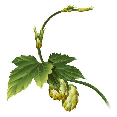 Hop plant vector Vectores