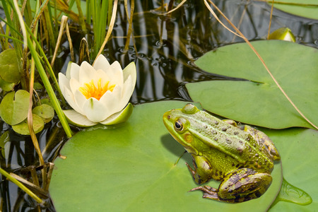 The frog sits on a green sheet, and looks at a white lily.