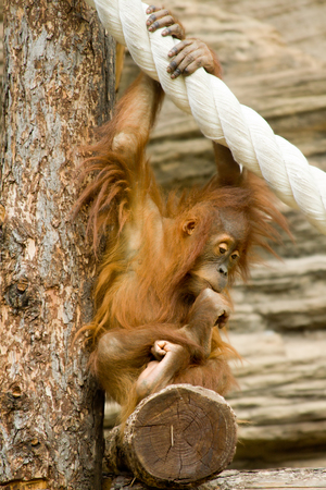 sits: Young orangutan sits in a pose of the philosopher Stock Photo