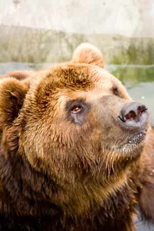 Portrait of a brown bear with wet hair photo