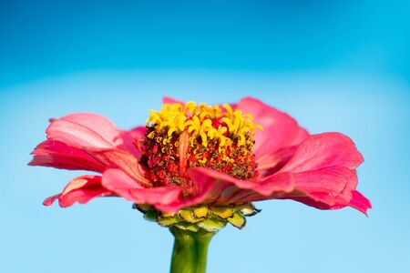 Red flower on blue background isolated Stock Photo