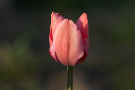 matherday: Pink tulip on green background Stock Photo