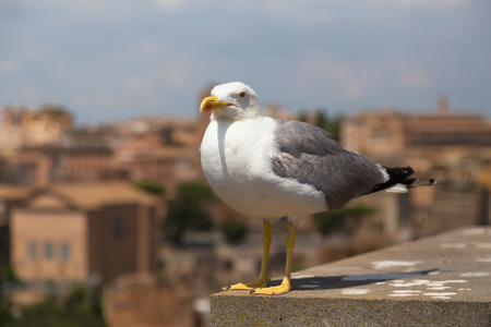 breakage: Seagull close shot in Palatine Hill Italy Roma Stock Photo