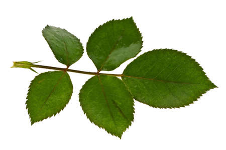 minutiae: Branch with five leaves on a white background Stock Photo