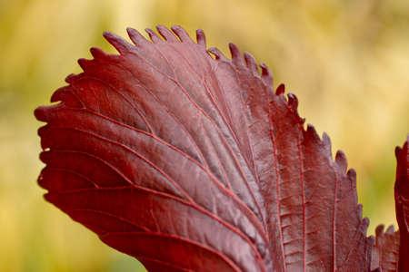 distances: red autumn leaves shot at close Distances Stock Photo