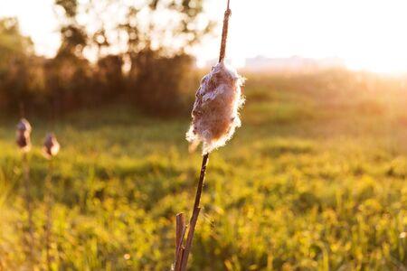 bulrushes: old bulrush at sunset
