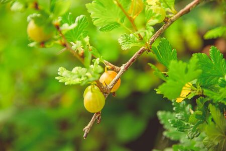 Green blooming gooseberries grow on a branch in a rustic garden