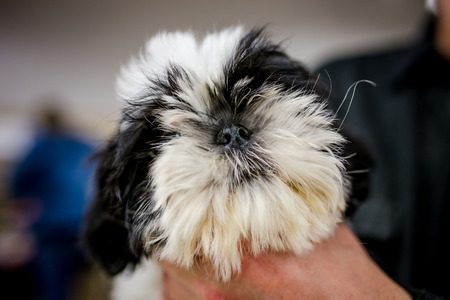 Lhasa Apso breed Stock Photo