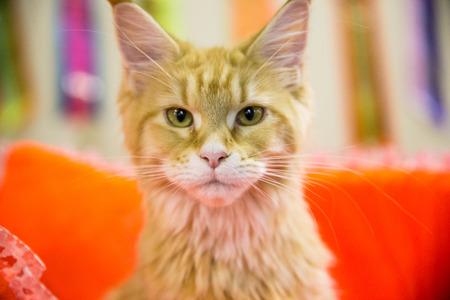 un bon volontaire donne un chat sans-abri à un nouveau propriétaire Banque d'images