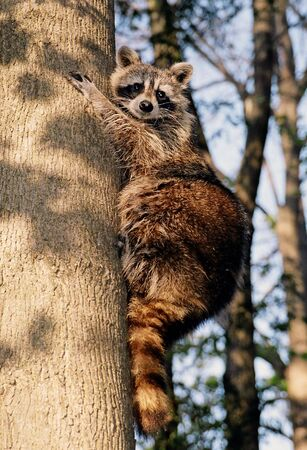 Racoon on the tree Imagens