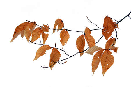Dry leaves in winter isolated Stock Photo - 863672