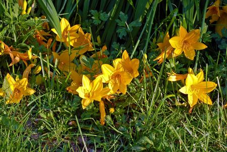 Yellow crocus flowers in a green meadow