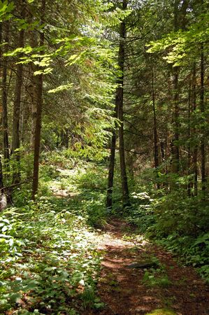 Portage in sunny pine forest in Algonquin Park