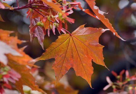 Orange maple leaves backlit by sunlight