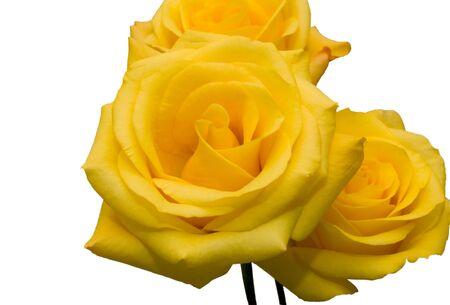 Geïsoleerde gele rozen