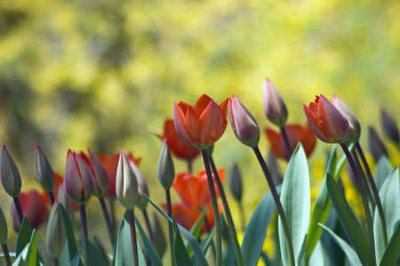 red and yellow tulips on yellow background photo
