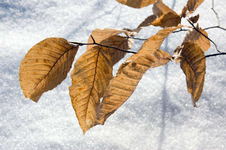 Dry leaves in winter on snow background. photo