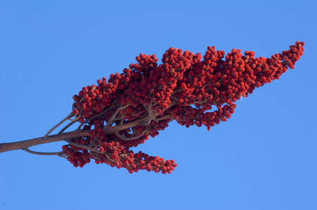 staghorn: Drupes of Staghorn Sumac on the blue sky background Stock Photo