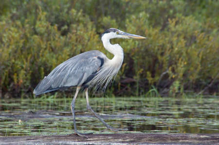 great blue heron walking on fallen tree trunk Stock Photo - 8856966