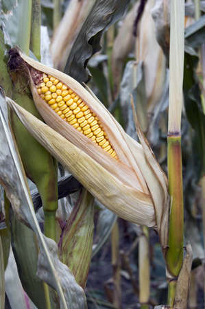 An cob of corn on the stalk in a field ready for harvesting photo