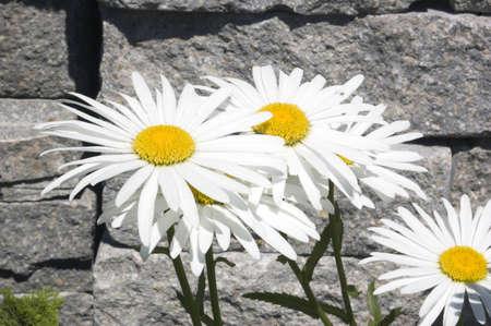 Leucanthemum maximum flowers in front of stone brick. photo