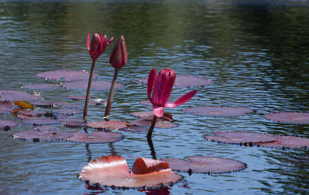 lilypad: Nymphaea nouchali in lake Stock Photo