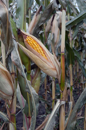 crop  stalks: An cob of corn on the stalk in a field ready for harvesting Stock Photo