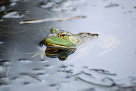 croak: Bullfrog on the water plants in small river Stock Photo