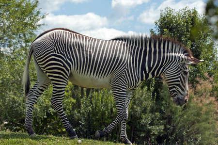 equid: Grevys zebra feeding green grass