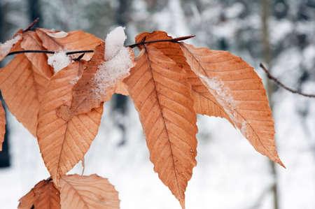 눈 배경에 겨울에 잎을 건조. 스톡 콘텐츠