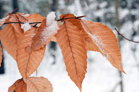 Dry leaves in winter on snow background.