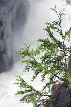 폭포 배경에있는 바위에 삼나무