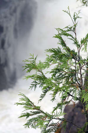 Cedar tree on rock in waterfall background Imagens
