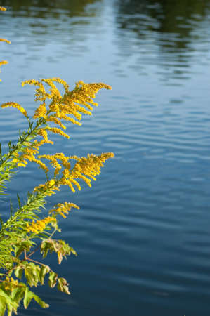 Goldenrod (disambiguation) in sunlit on blue background photo