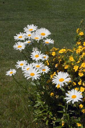 Leucanthemum maximum flowers in green grass background